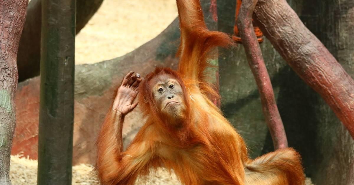 orangutan u zoološkom vrtu