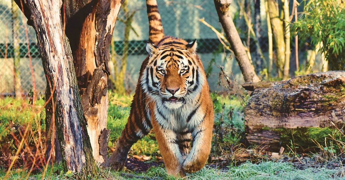 tigar u zoološkom vrtu